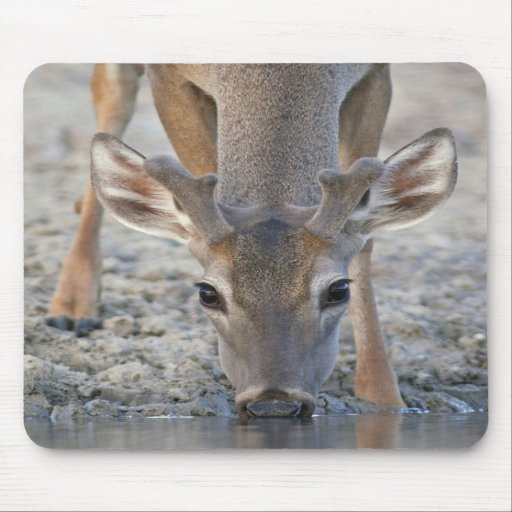 White-tailed Deer Buck in Velvet Drinking Water Mousepad