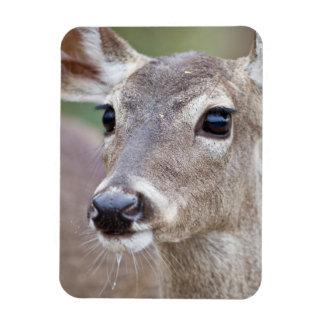 White-tailed Deer doe drinking water Rectangular Photo Magnet