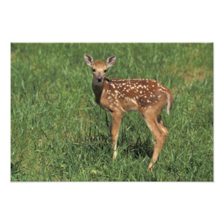 White-tailed deer fawn photo print