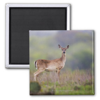 White-Tailed Deer Square Magnet