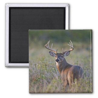 white-tailed deer Odocoileus virginianus) 2 Square Magnet