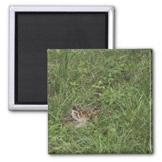 White-tailed Deer, Odocoileus virginianus, 3 Square Magnet