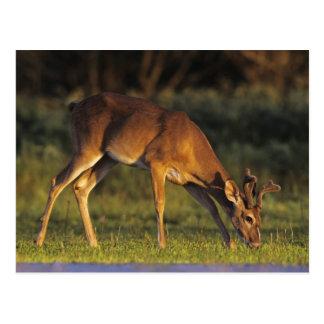 White-tailed Deer, Odocoileus virginianus, 4 Postcard