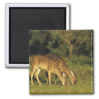 White-tailed Deer, Odocoileus virginianus, 5 Square Magnet