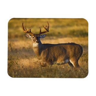 White-tailed Deer (Odocoileus virginianus) adult Rectangular Photo Magnet