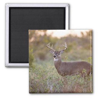 white-tailed deer (Odocoileus virginianus) male 2 Square Magnet