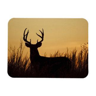 white-tailed deer (Odocoileus virginianus) male Rectangular Photo Magnet