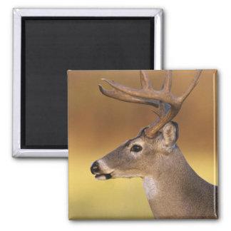 White-tailed Deer, Odocoileus virginianus, Square Magnet