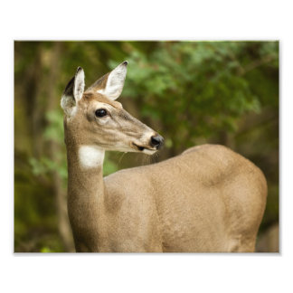 White Tailed Deer Photo Print