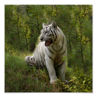 White tiger 020 poster