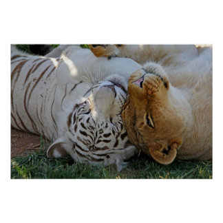 White Tiger and Lion Pals Posters