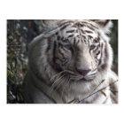 White Tiger Close-up Postcard