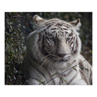 White Tiger Close-up Poster