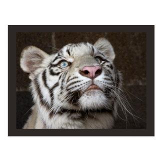 White Tiger Cub Postcard