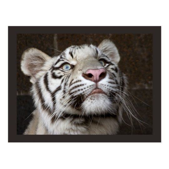White Tiger Cub Postcard