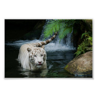 White Tiger in the wild Poster