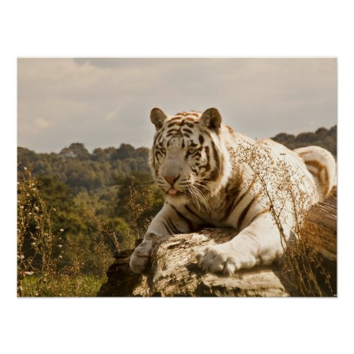 White Tiger on the Hunt Print