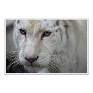 white tiger posters