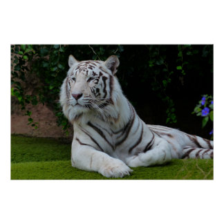 """""""WHITE TIGER"""" POSTERS"""