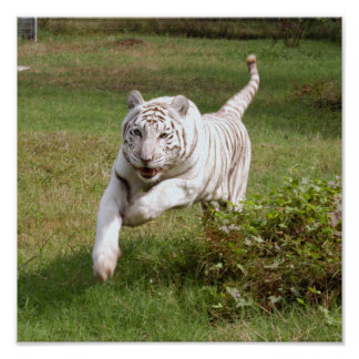White Tiger Poster You Customize It