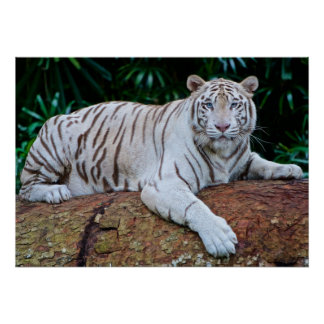 White Tiger Resting Photo Poster