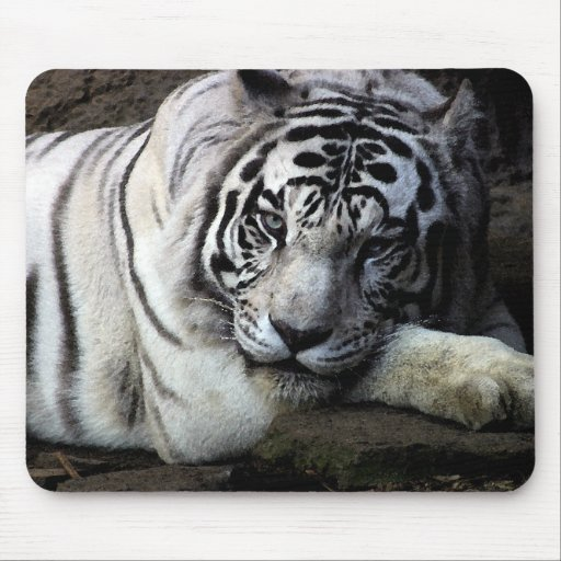 White Tiger Stare Mousepads