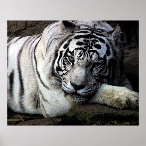 White Tiger Stare Print