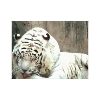White Tigers looking Canvas Print