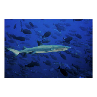 White Tip and Surgeonfish Poster