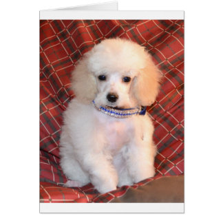 White Toy Poodle Fluffy Puppy Greeting Card