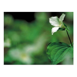White trillium postcard