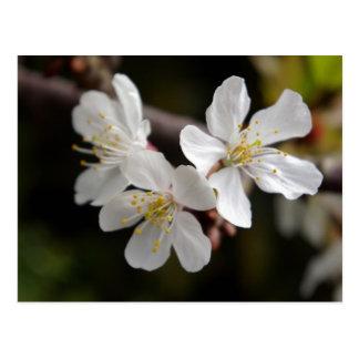 White Trio of Blossoms Postcard