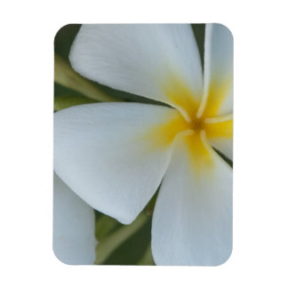White Tropical Plumeria Flower From Fiji Magnet