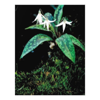 White trout lily flyer design