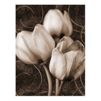White Tulip Flowers Sepia Black Background floral Postcard