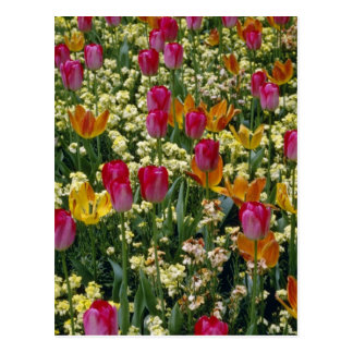 White Tulips in Millbrook Park flowers Postcard