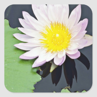 White water lily  flowers stickers