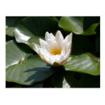 White Water Lily Lotus Flower