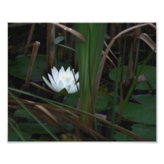 White Water Lily Lotus Lilypads 10x8 Flower Photo Print