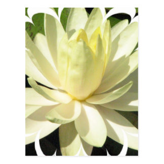 White Water Lily Postcard