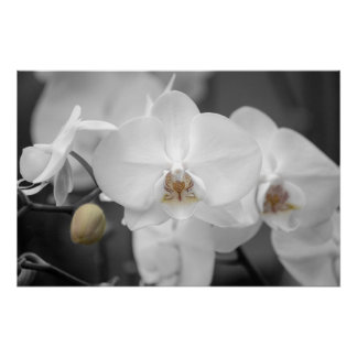White Wedding Orchid Poster