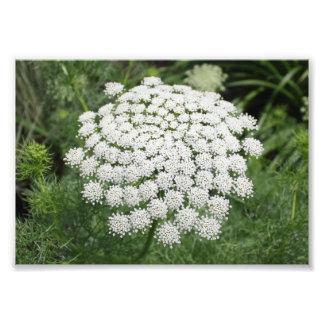 White Wild Flower Queen Anne's Lace Photo Print