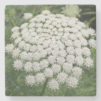 White Wild Flower Queen Anne's Lace Stone Coaster