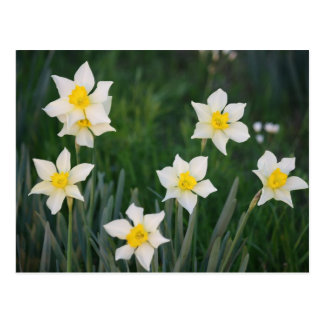 White & Yellow Spring Daffodils Postcard