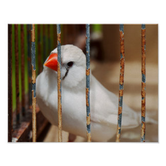 White Zebra Finch Bird in Cage Poster
