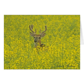 Whitetail buck in a canola field card