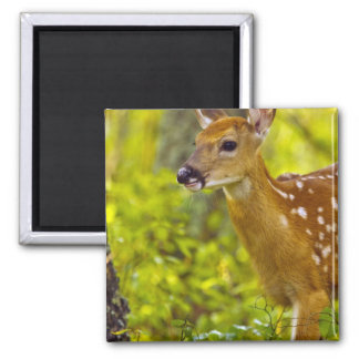 Whitetail deer fawn in Whitefish, Montana, USA Square Magnet