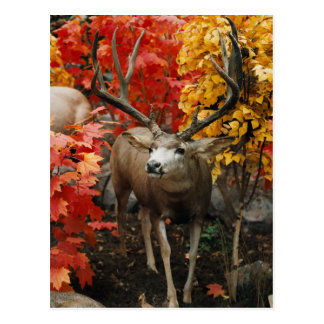 Whitetail In Autumn Postcard