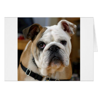 Whitish brown colored English Bull dog Posing Card