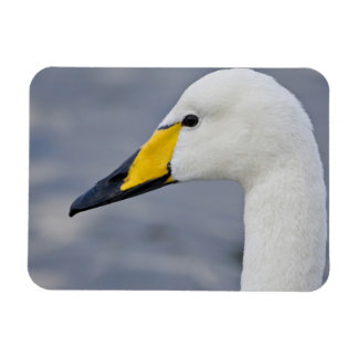 Whooper Swan at a pond in Reykjavik, Iceland. Rectangular Photo Magnet